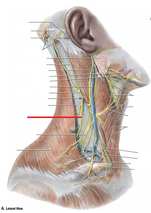 Anatomy Session #5 - Anterior Shoulder, Pectoral, Neck (MSK I ...