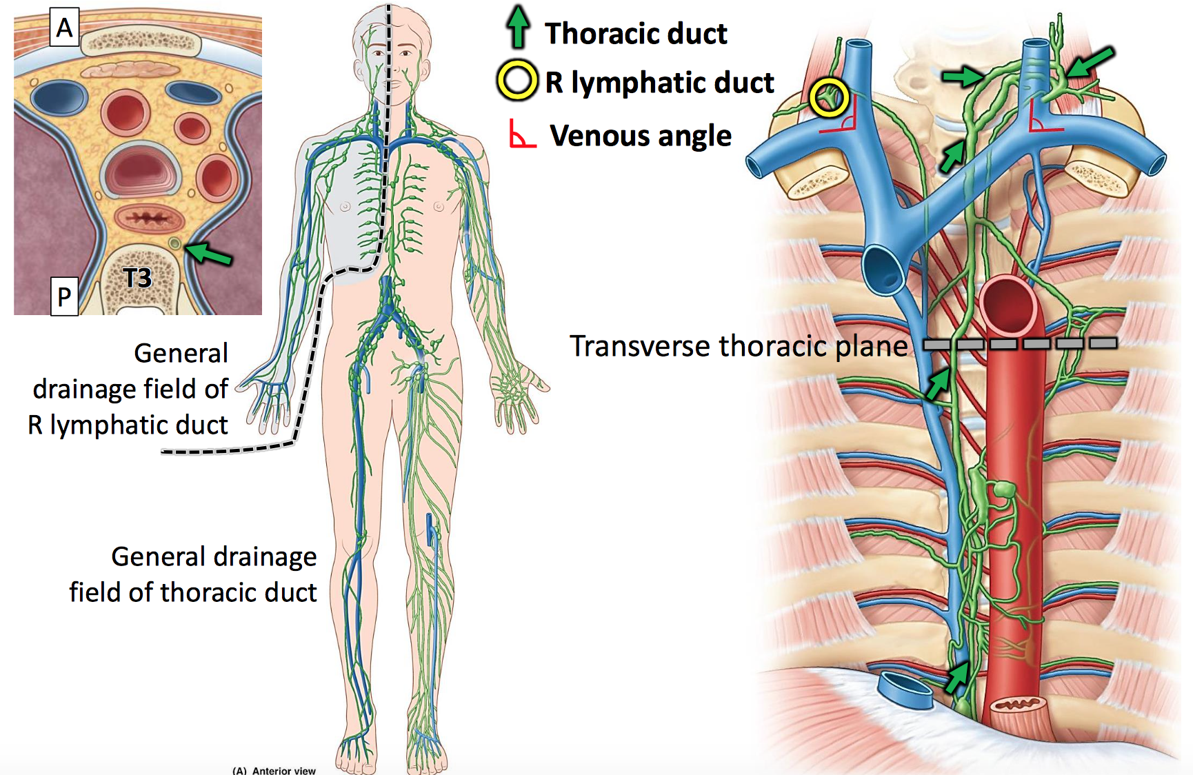 Anatomy GS23 Superior and Posterior Mediastinum - Updated (Adapted ...