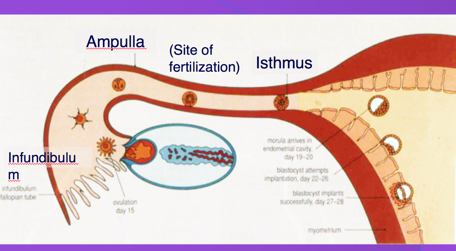 Histology Female Reproductive Fe Female Reproductive System