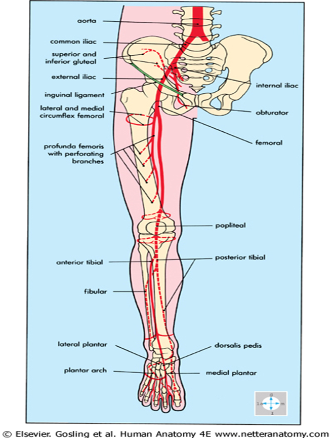011A - Anterior and Lateral Compartment of the Leg (Anatomy ...