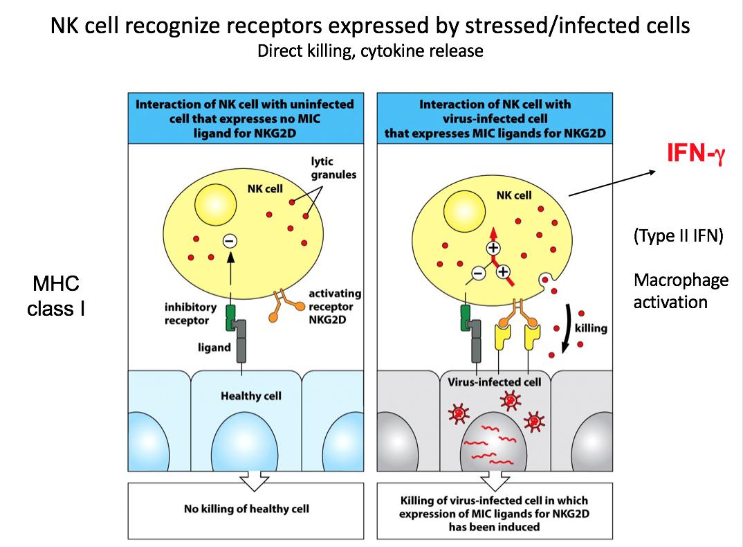 Week 2 - Innate Immunity Cytokine Response (H&D) Flashcards