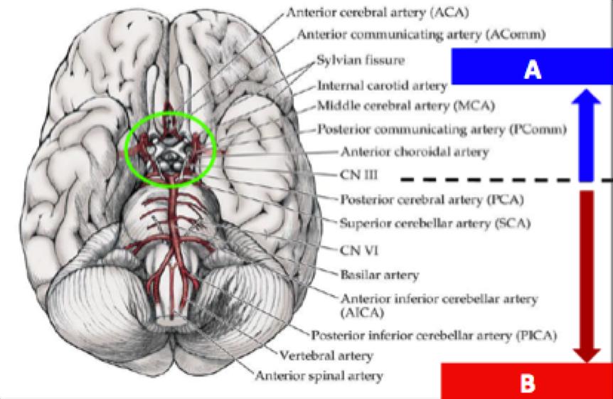NEURO1: Blood Supply of the CNS (Neurology) Flashcards | Memorang