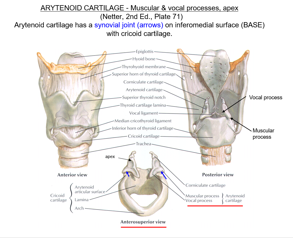 Head And Neck Larynx Infrahyoid Muscles Incomplete To Pg 146