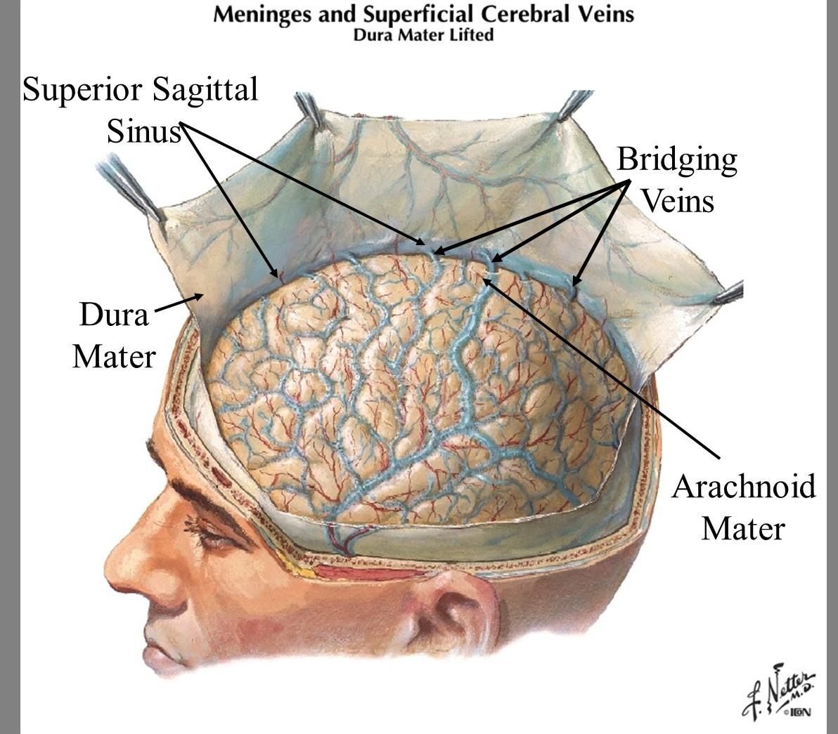 Neuro 1 (gross brain/blood supply) Flashcards   Memorang