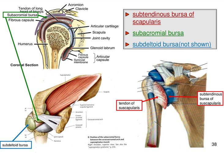 Upper limb: Muscles & Joints of the Shoulder (L9) Flashcards | Memorang