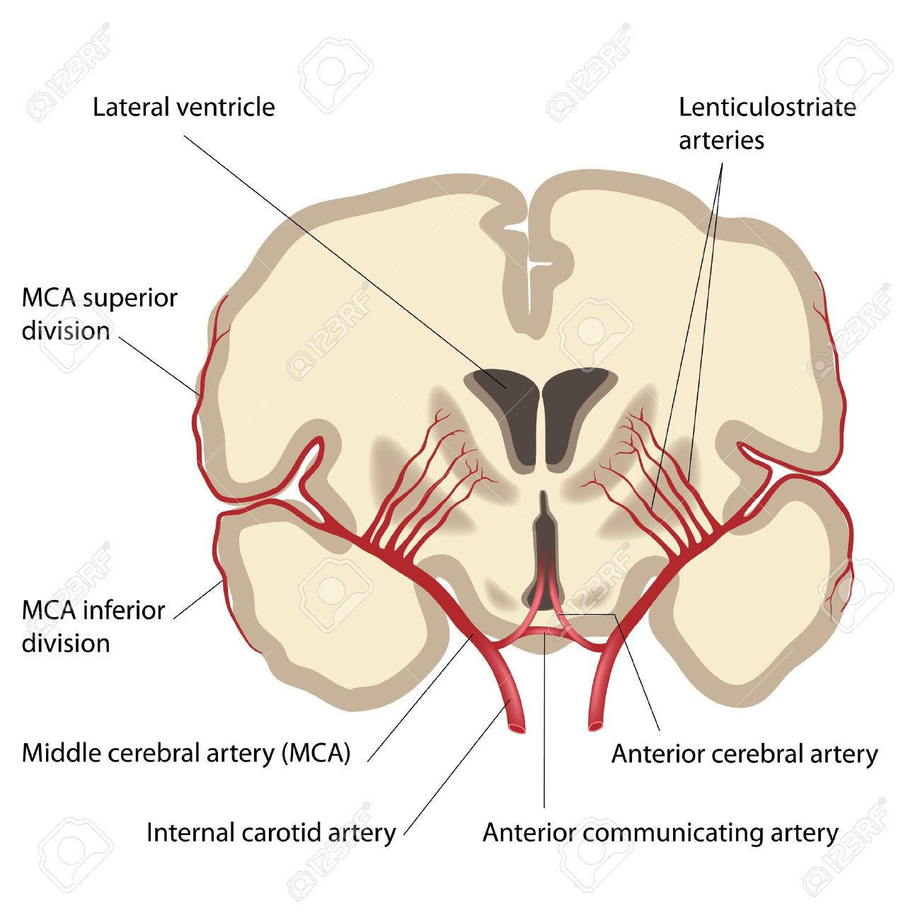 UW NEURO 3 (ANATOMY) Flashcards | Memorang