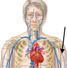 vmla veins (anatomy) flashcards | memorang, Cephalic Vein