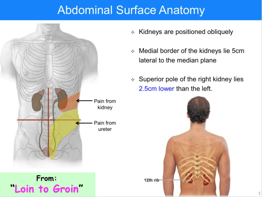 List Of Synonyms And Antonyms Of The Word Loin Anatomy