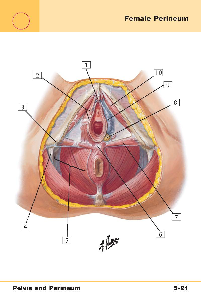 Woman Perineum Diagram - Basic Guide Wiring Diagram •