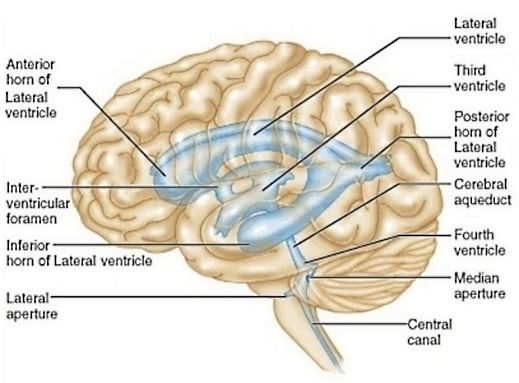 Brainstem 1 Flashcards Memorang En research has implicated the rostral midbrain in the vicinity of the cerebral aqueduct of the third ventricle as the most likely region of damage. brainstem 1 flashcards memorang