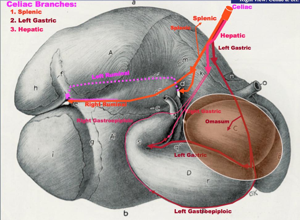 Anatomy Bovine Ruminant And Horse Skull Anatomy Flashcards