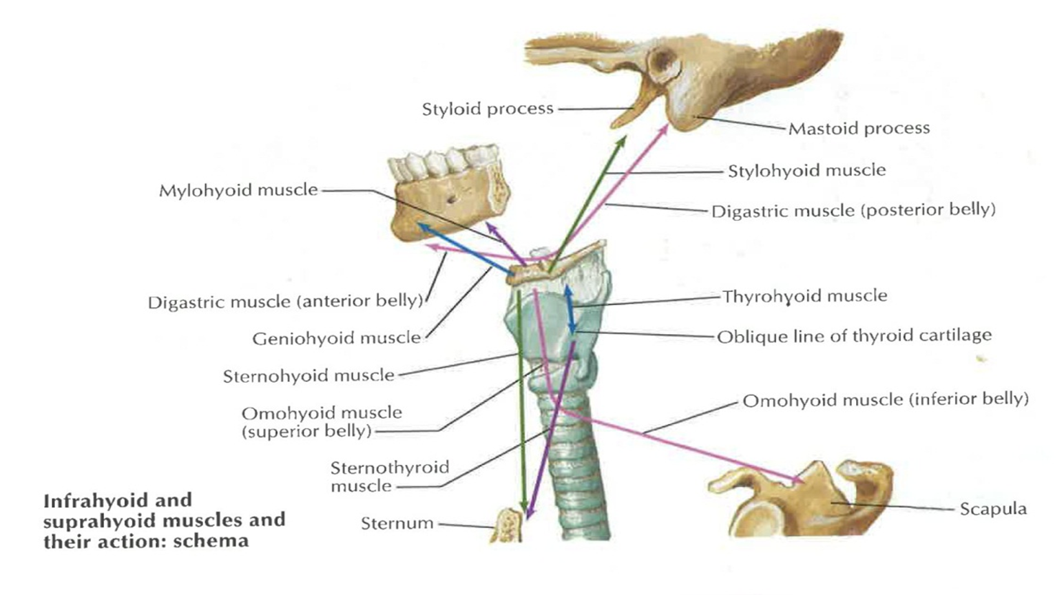 002A - Larynx (Anatomy II) Flashcards | Memorang