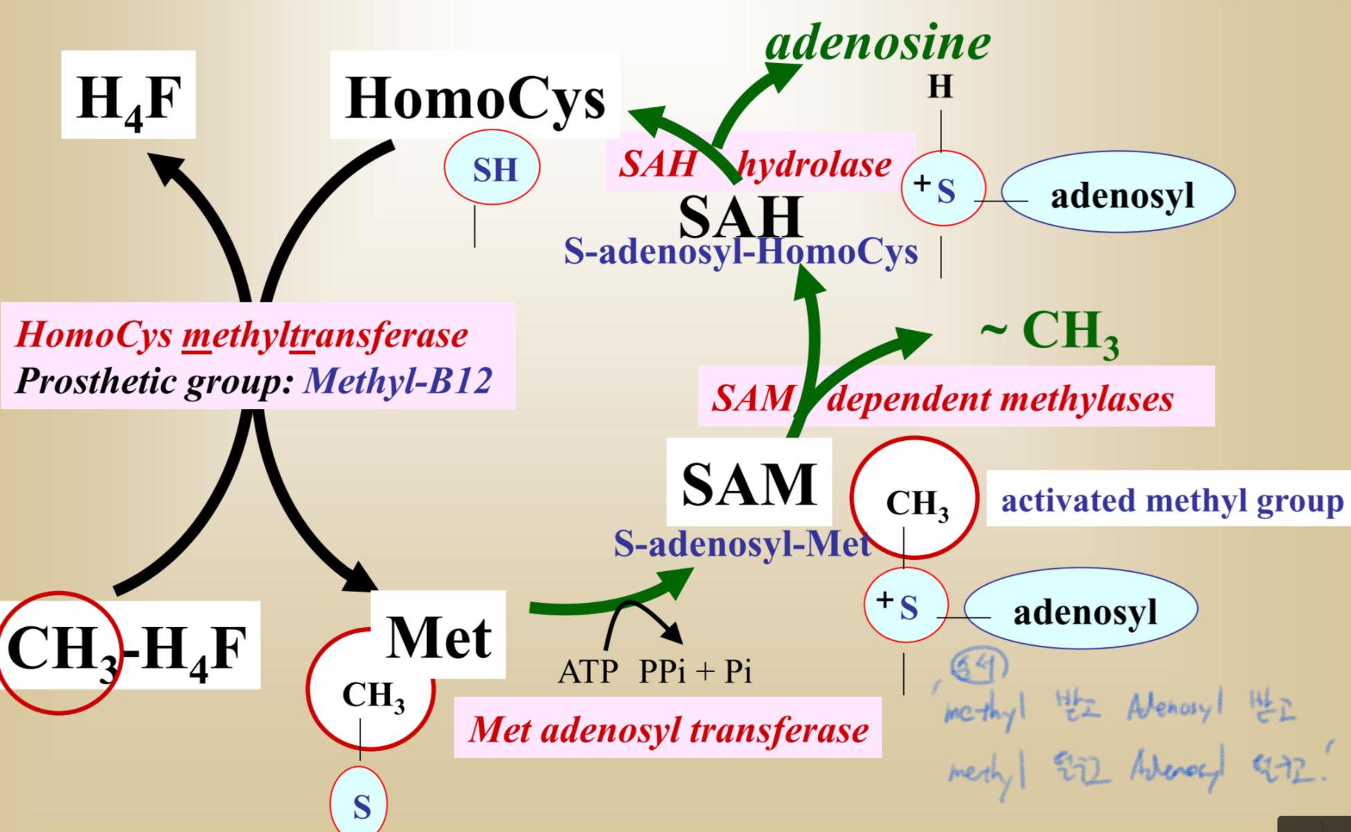 Amino acid 2 (Amino acid lecutre2) Flashcards | Memorang