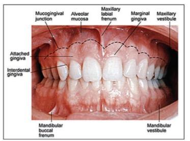 labial mucosa diagram wiring diagram tutorial Labial Mucosa Cancer oral anatomy (foundational) flashcards memorangd773f77dc jpg