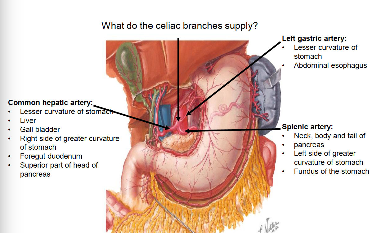 Gastric Artery Image collections - human internal organs diagram