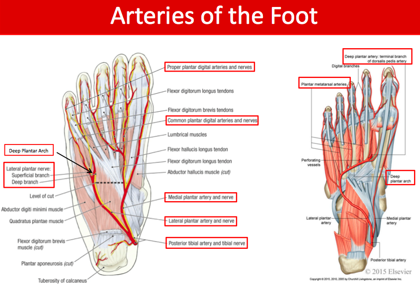 Beautiful Nerve In Foot Illustration - Human Anatomy Images ...