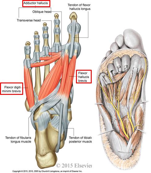 1 10 Foot Anatomy Anatomy Flashcards Memorang