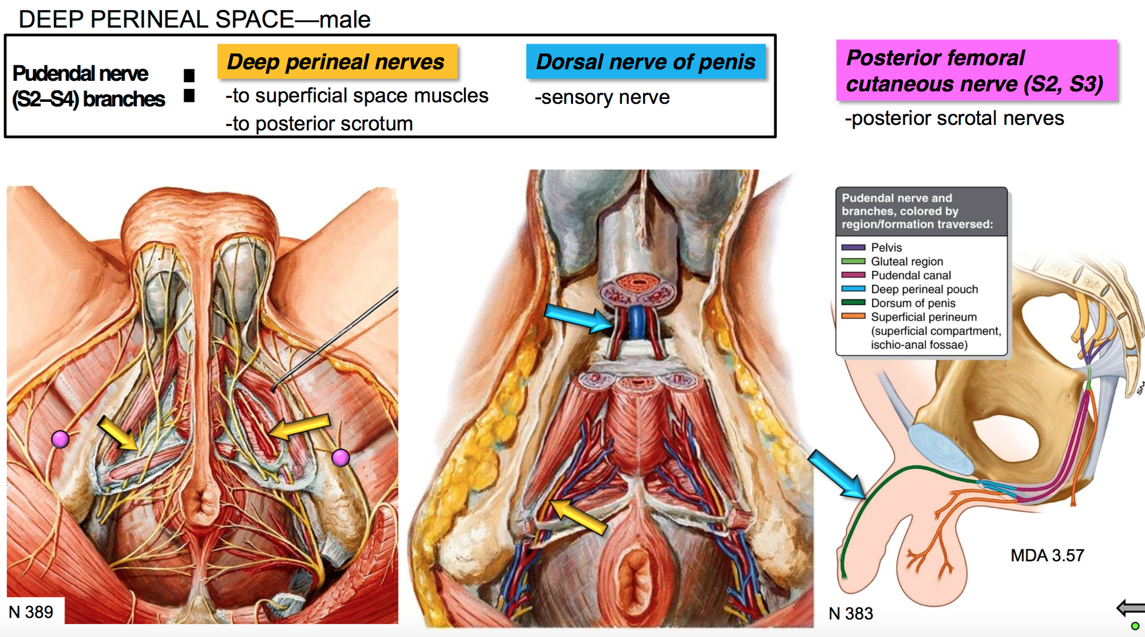 Gs G40 Perineum Ii Anatomy Unit 5 Flashcards Memorang