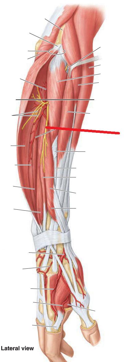 Anatomy 10 Extensors And Dorsal Hand Msk Ii Flashcards Memorang