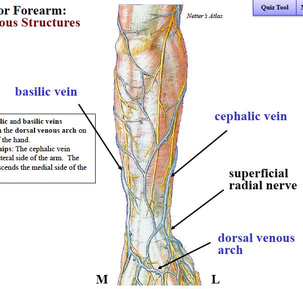 Famous Cephalic Vein Anatomy Inspiration - Anatomy And Physiology ...