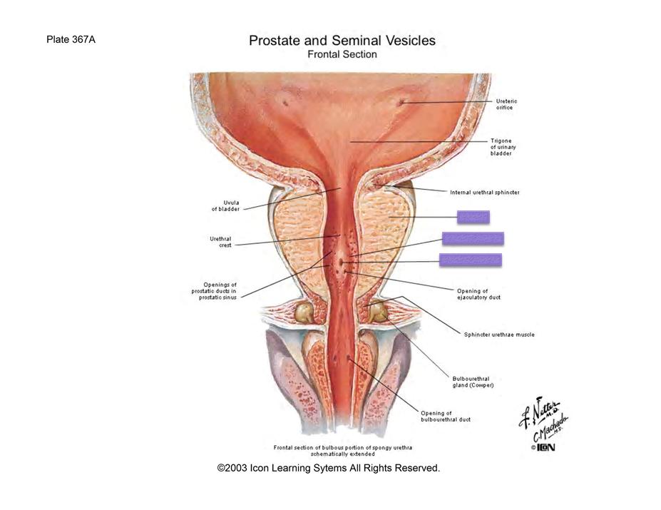 Lab 3 Male Reproduction (Gross Anatomy Unit 8) Flashcards | Memorang