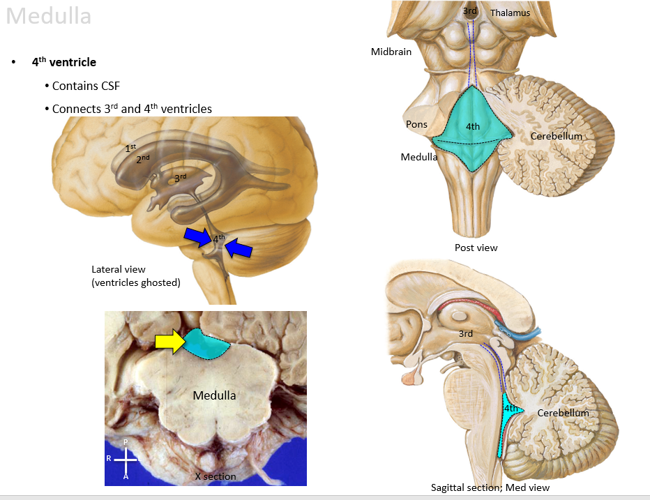 Attractive 4th Ventricle Anatomy Collection - Anatomy And Physiology ...