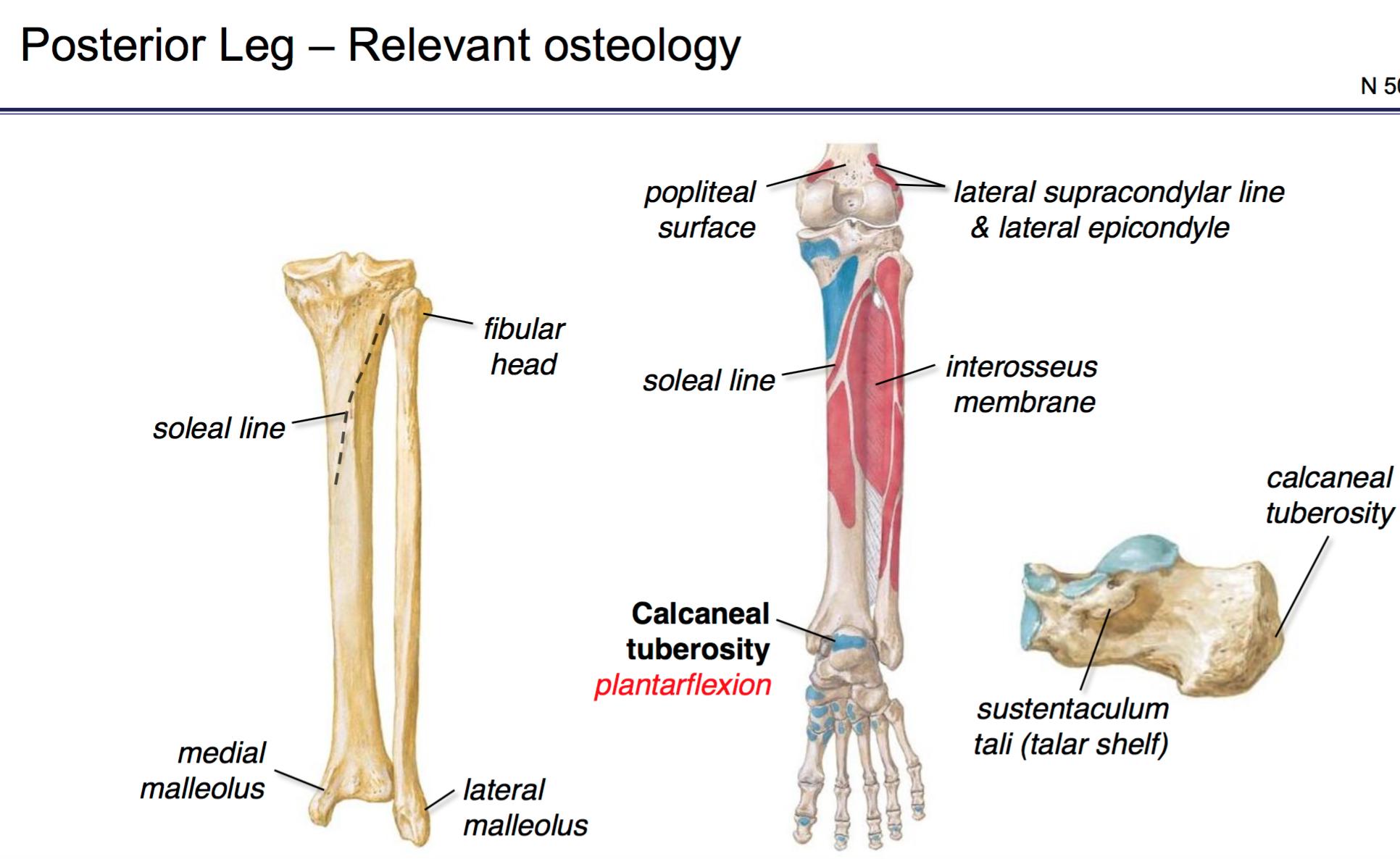 tibia soleal line diagram wiring diagram data todayfg anatomy g46 popliteal fossa \u0026 posterior leg (anatomy unit 6 tibia soleal line diagram
