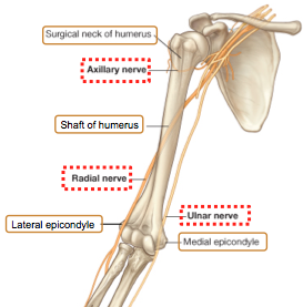 Humerus Medial Epicondyle
