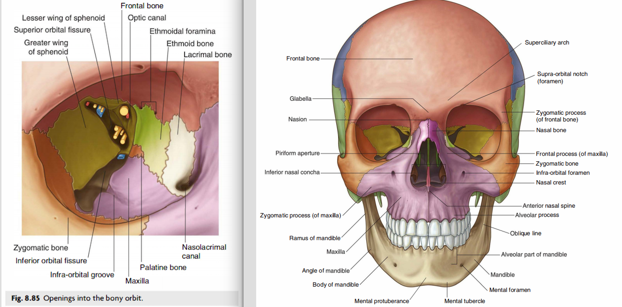 Skull (Anatomy) Flashcards | Memorang