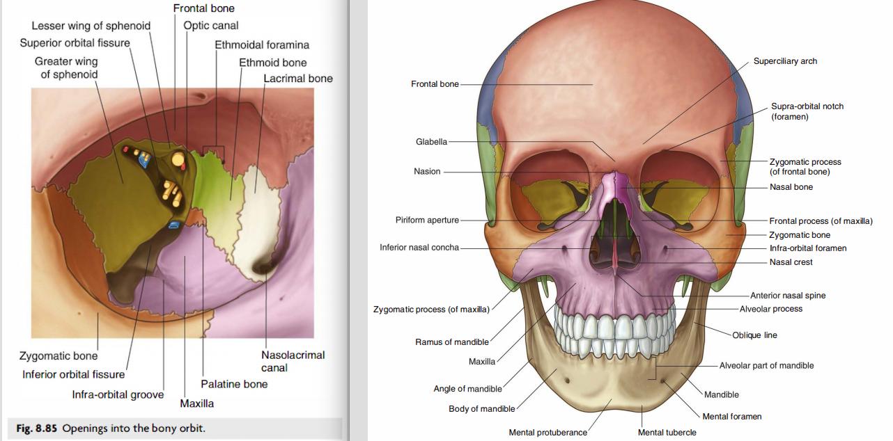 Luxury Anatomy Of Orbit Crest - Human Anatomy Images ...