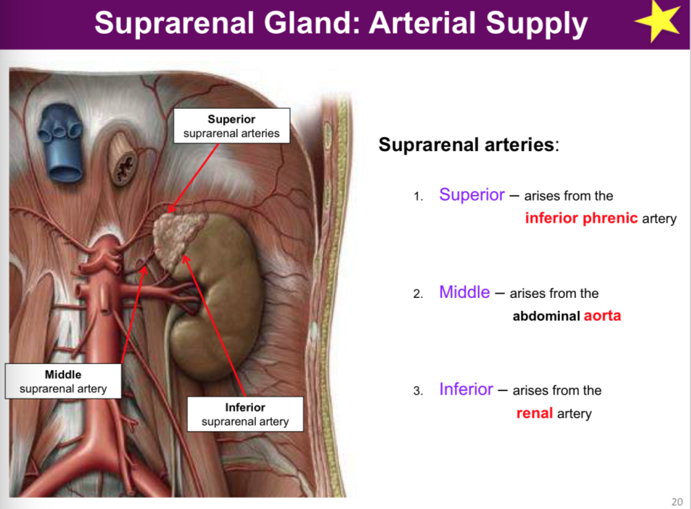 Anatomy Of The Kidney And Suprarenal Gland Anatomy Flashcards