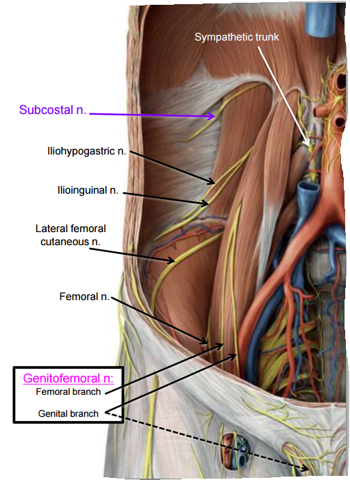 Diaphragm And Posterior Abdominal Wall Gross Anatomy Flashcards