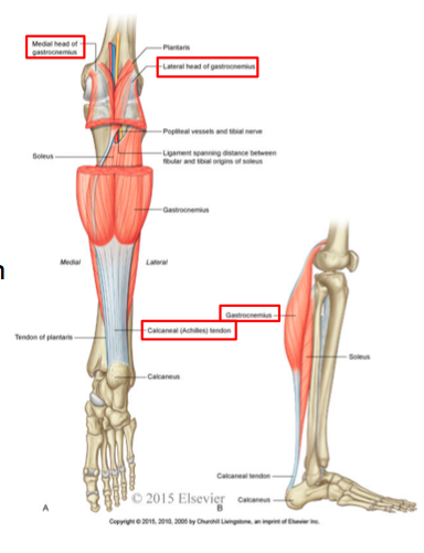 11 5 posterior leg ankle joint boucher flashcards memorang posterior surface superior to the medial condyle of the femur lateral head posterior ccuart Choice Image