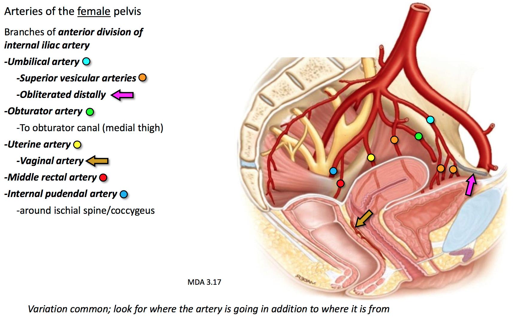 GS G37 Pelvis II (Anatomy Unit 5) Flashcards | Memorang