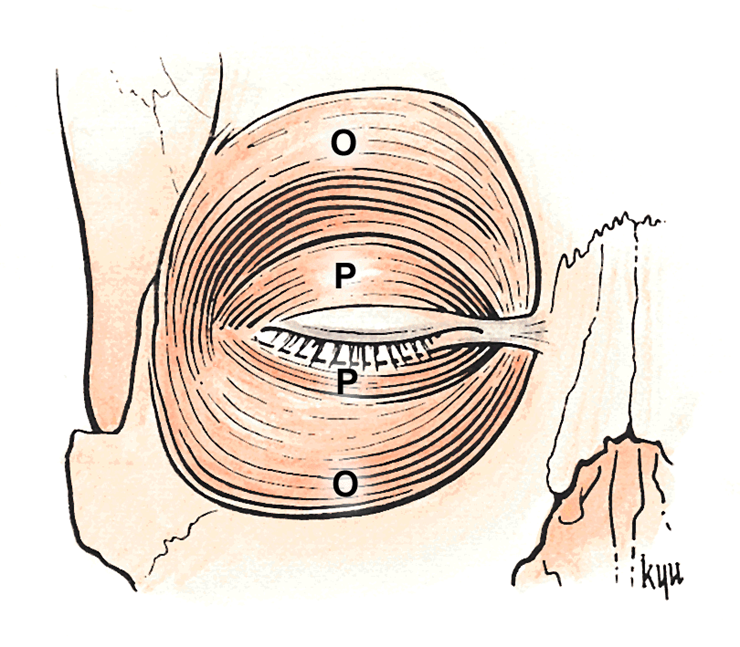 2.03 - Orbit Anatomy (Neuro | Anatomy | Eileen Kalmar) Flashcards ...