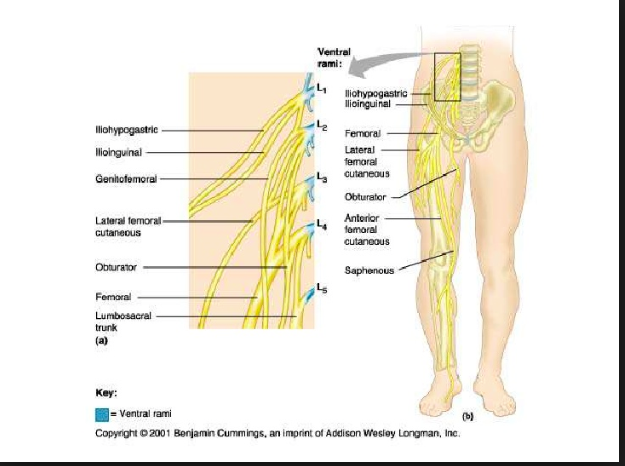 11 3 anterior medial thigh knee joint boucher flashcards memorang l2 l4 deep to the inguinal ligament supplies ccuart Choice Image