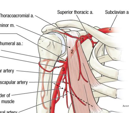 anatomy (ul): brachial plexus, axilla & arm (axilla, brachial, Human Body
