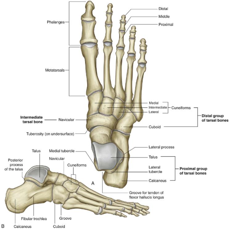 Skeleton Of The Lower Limb Anatomy Flashcards Memorang