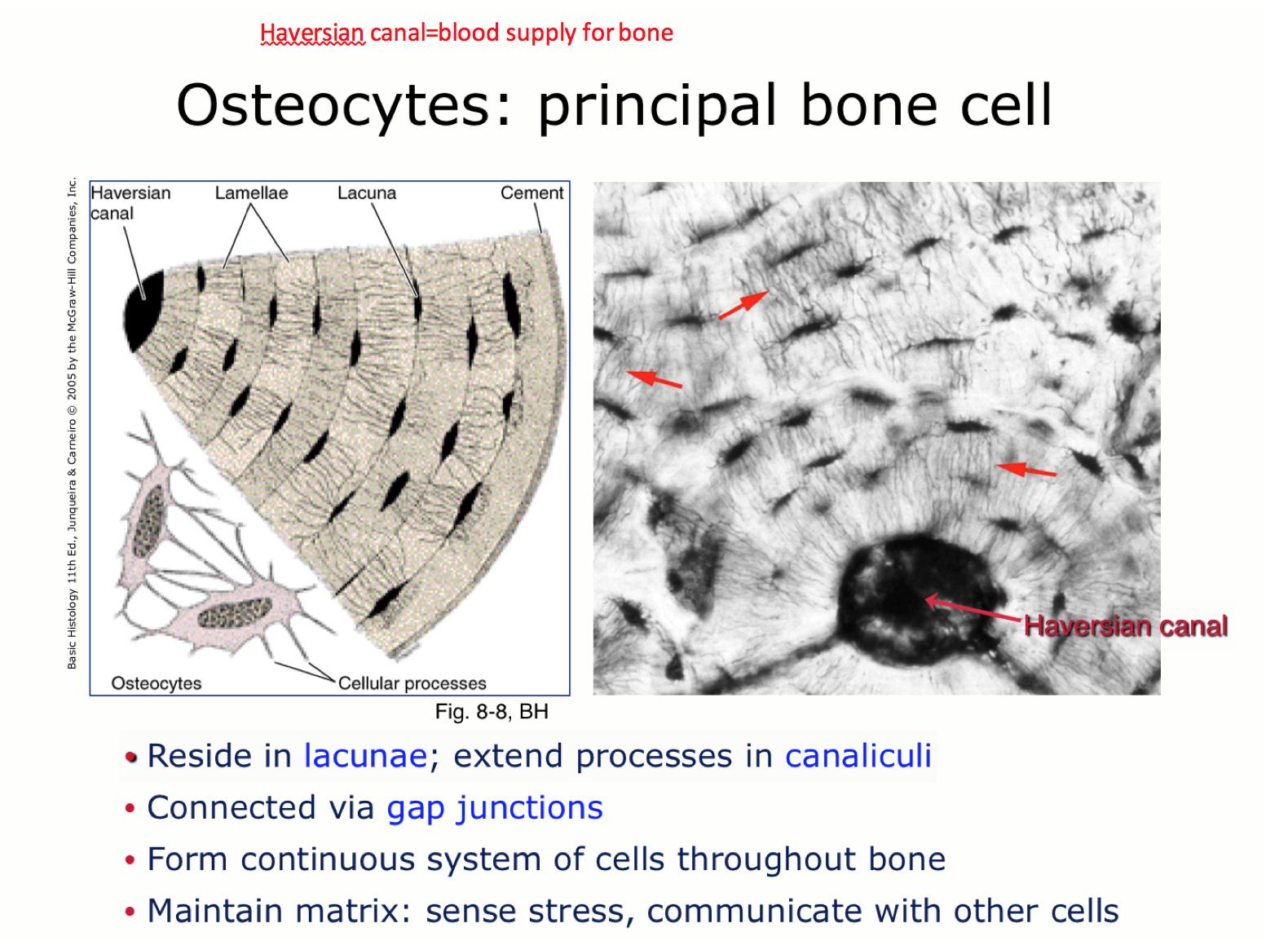 Week 14 - Bone (Histology) (Phase 1) Flashcards | Memorang
