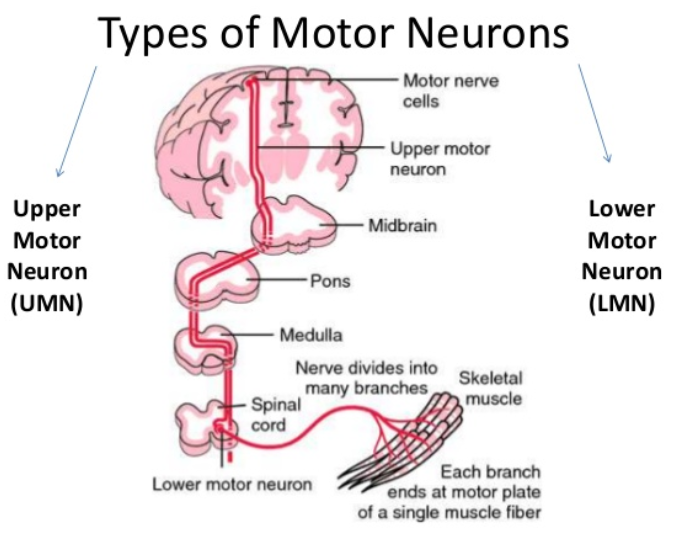 Upper Motor Neuron Cell Body Location Impremedia Net