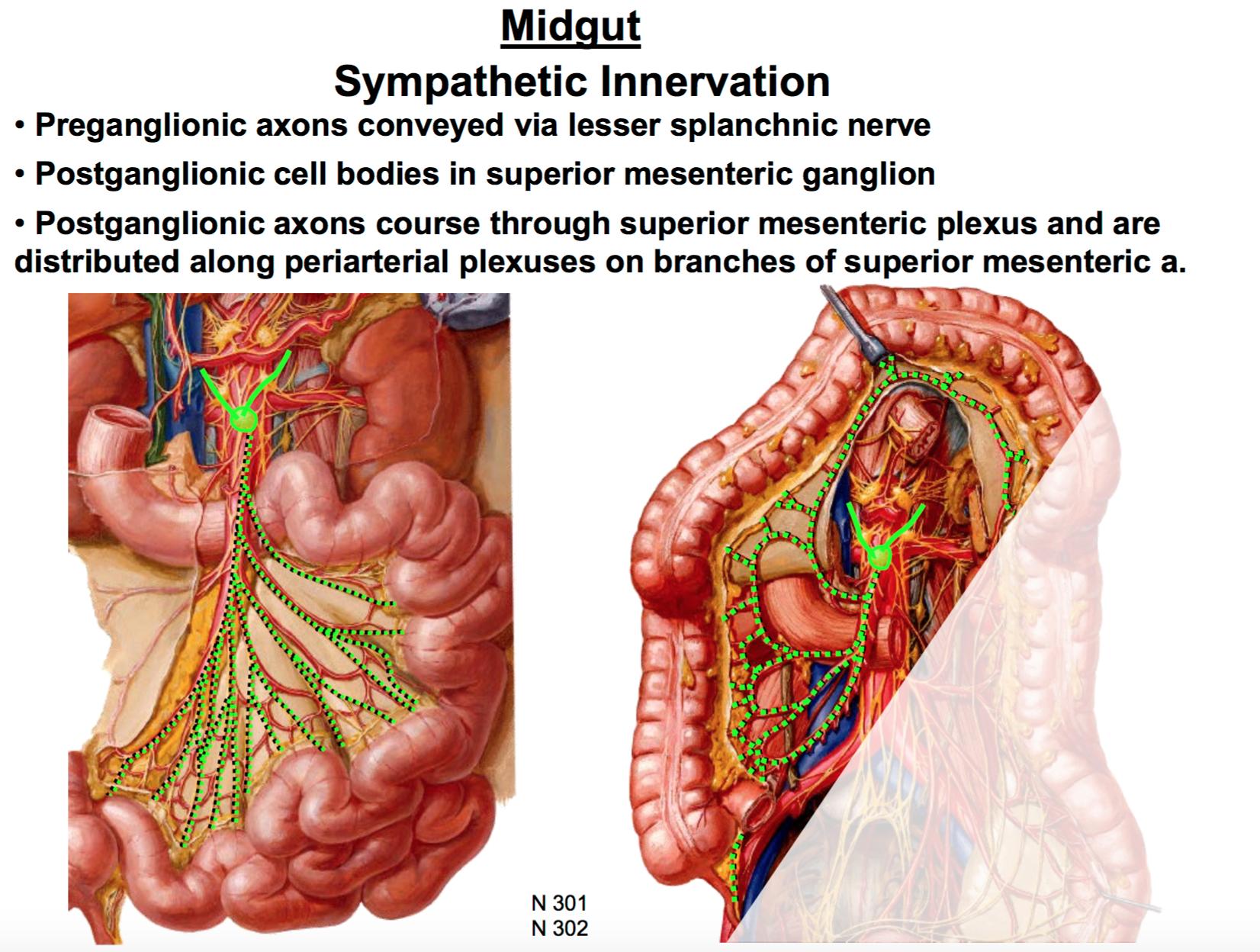 GSAnatomy G32 Visceral Innervation of the Abdomen (Anatomy Unit 4 ...