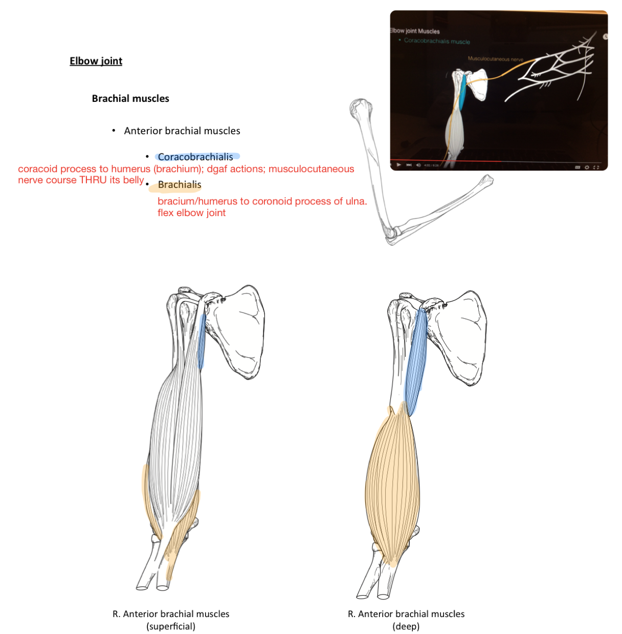 Week 15 - Glenohumeral joint & Elbow (Anatomy) (Phase 1) Flashcards ...