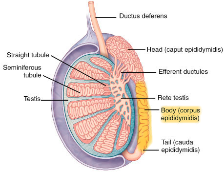 Testis Body Diagram - Block And Schematic Diagrams •