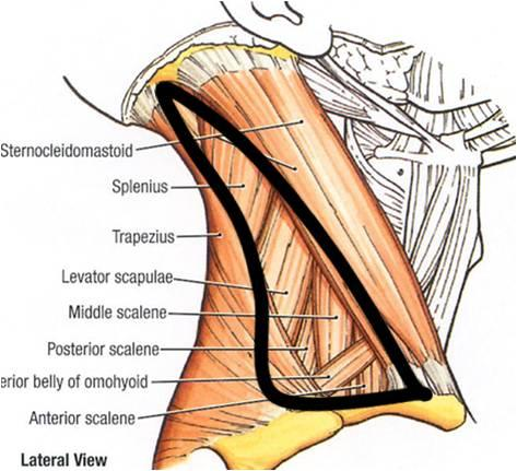 001B - Superficial and Deep Structures of the Neck (Anatomy II ...
