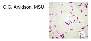 Microbiology Exam II (Normal Microbiota & Nosocomial