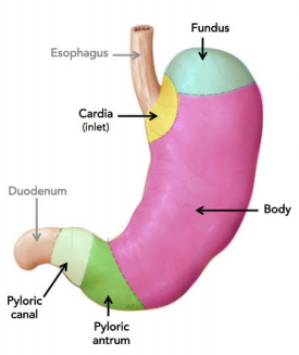 parts of the stomach