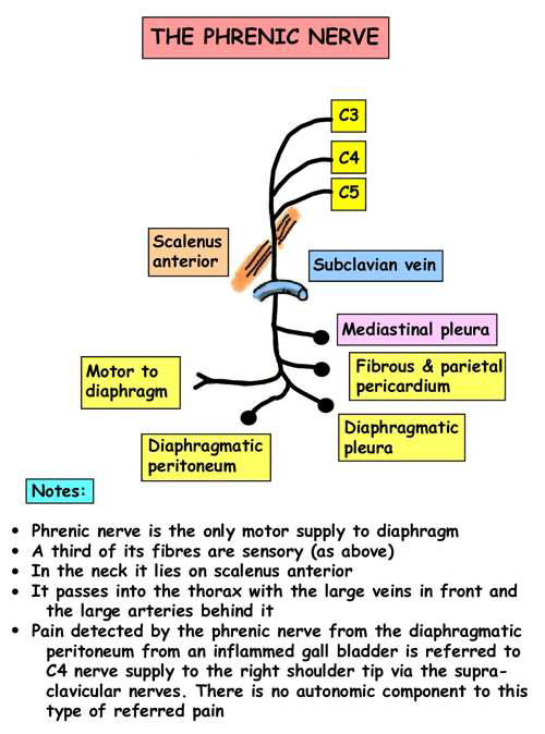Superior Mediastinum (Gross Anatomy) Flashcards | Memorang