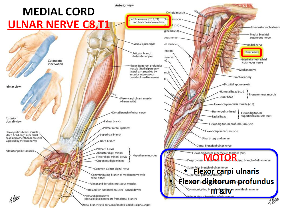INnervation of Upper Extremity (Gross Anatomy) Flashcards | Memorang