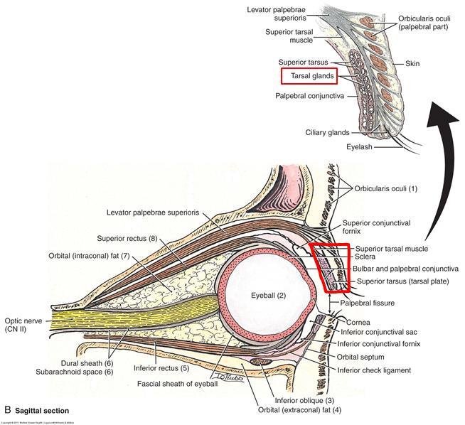 203 Orbit Anatomy Neuro Anatomy Eileen Kalmar Flashcards