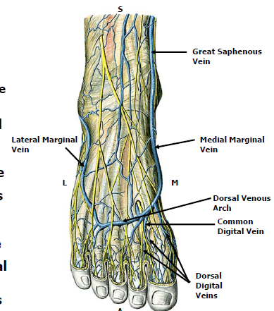 1g Vasculature And Lymphatics Of The Foot Scholl Foot